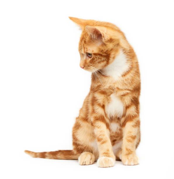 gorgeous young ginger red tabby kitten sitting isolated against a white background looking to the side. - białe tło zdjęcia i obrazy z banku zdjęć