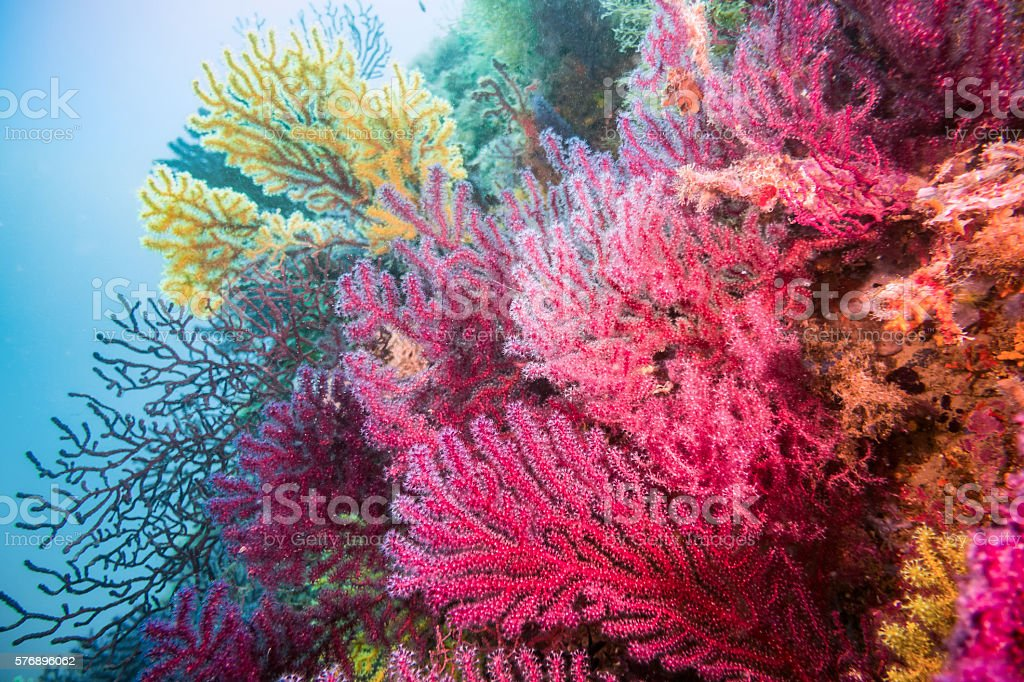 gorgonia coral red blue horizontal costa brava illes medes gorgoniiade stock photo