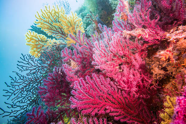 gorgonia coral red blue horizontal costa brava illes medes gorgoniiade yellow and red gorgonia undersea stock pictures, royalty-free photos & images