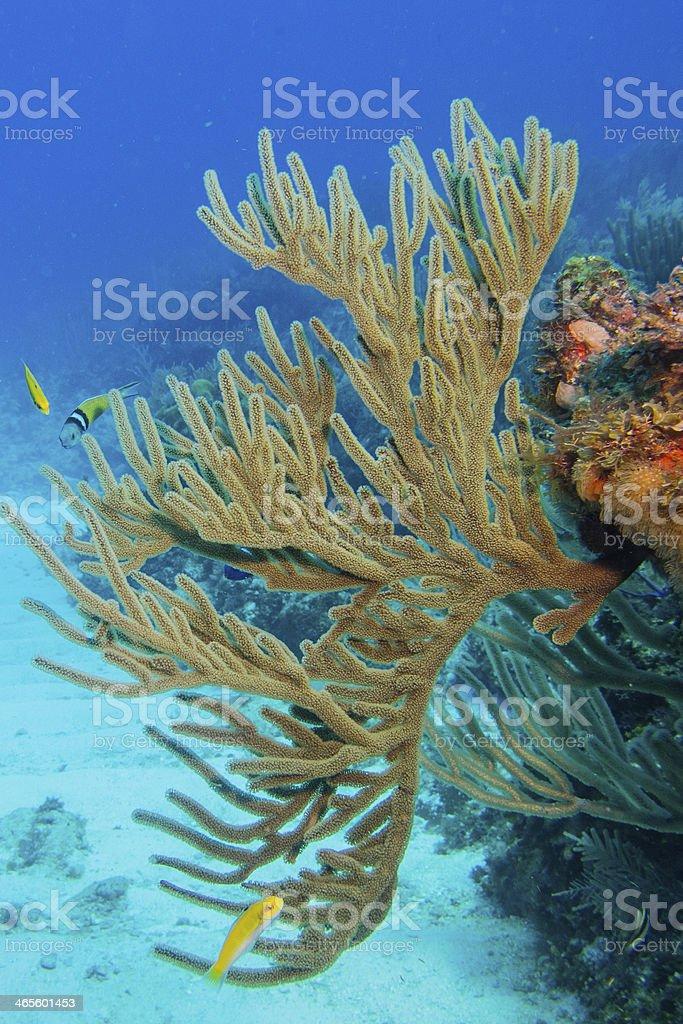 Gorgonian. Caribbean sea. royalty-free stock photo