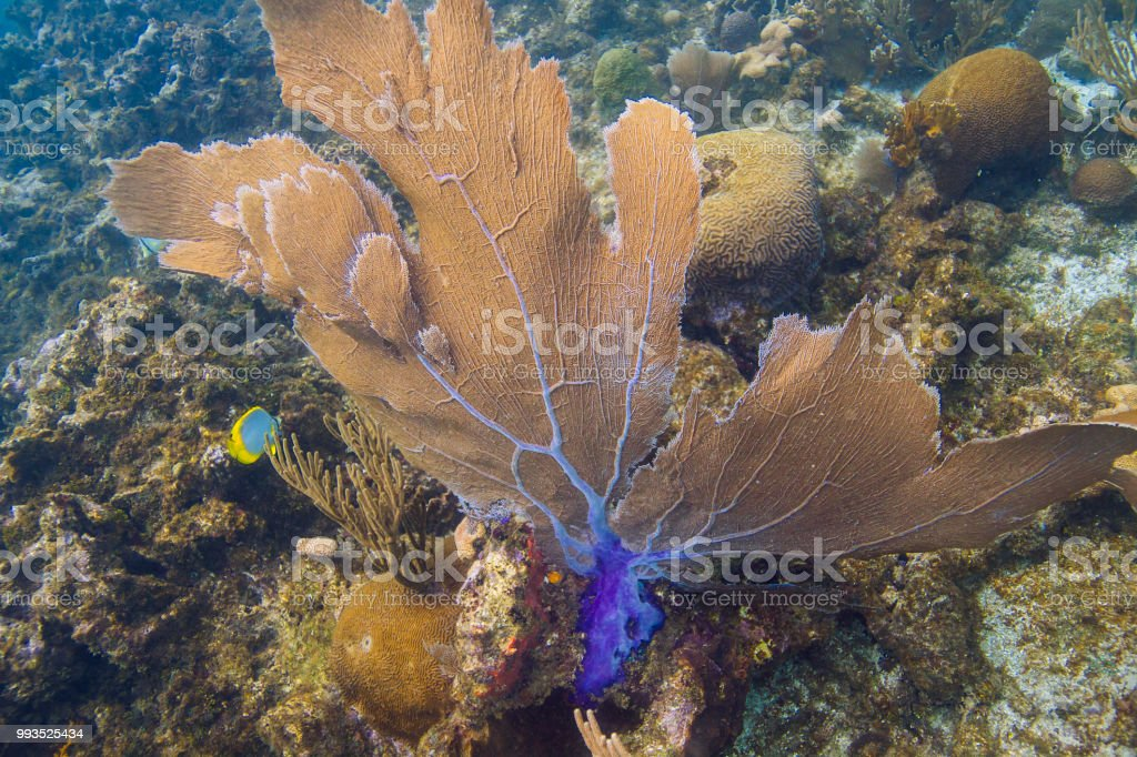 Gorgonian coral blow by current stock photo