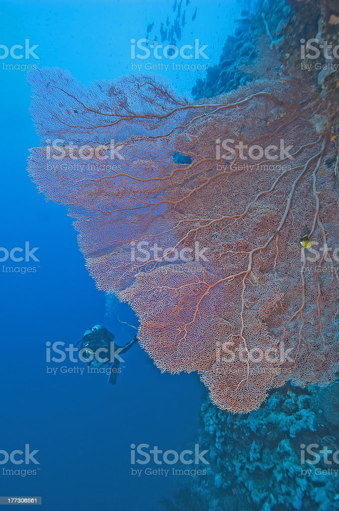Gorgonian fan coral on a reef wall stock photo