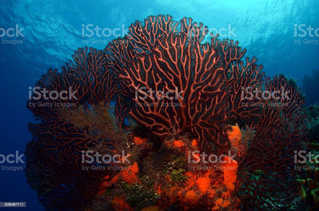 Gorgonian stock photo