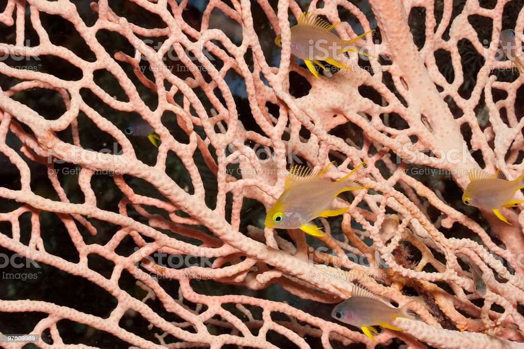 Gorgonian Seafan with juvenile Golden Damsels Amblyglyphidodon aureus, Sulawesi, Indonesia royalty-free stock photo
