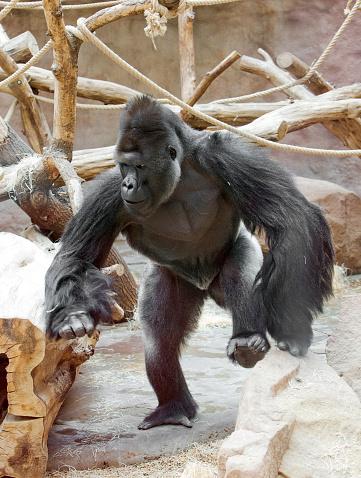 gorila in motion