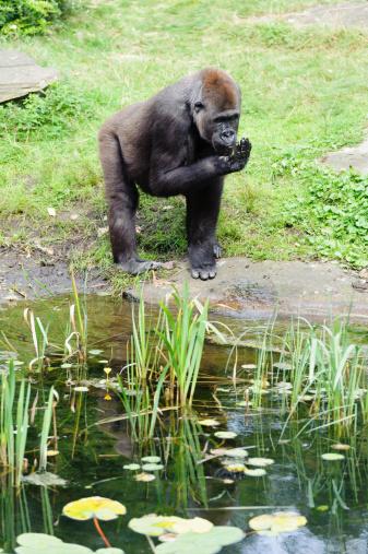gorila's near a swamp