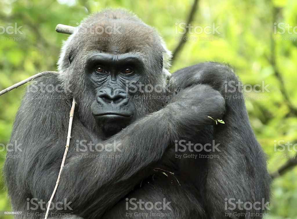Gorilla 2 (captive) stock photo