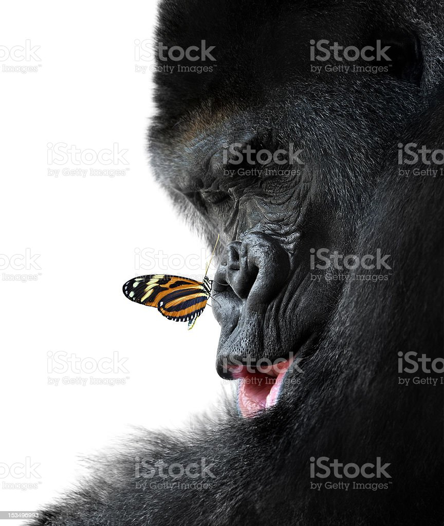gorilla and butterfly animal friendship stock photo
