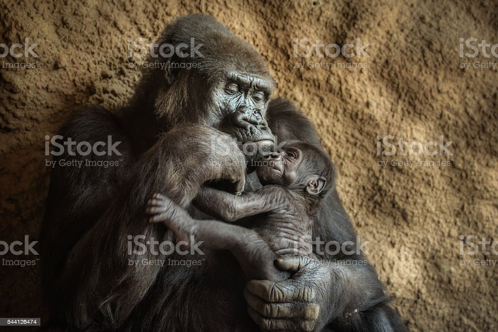 Gorilla and its baby stock photo