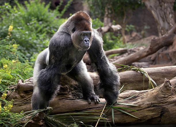 gorila en el zoológico - gorila fotografías e imágenes de stock