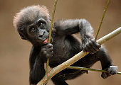 a cute young gorilla trying to climb