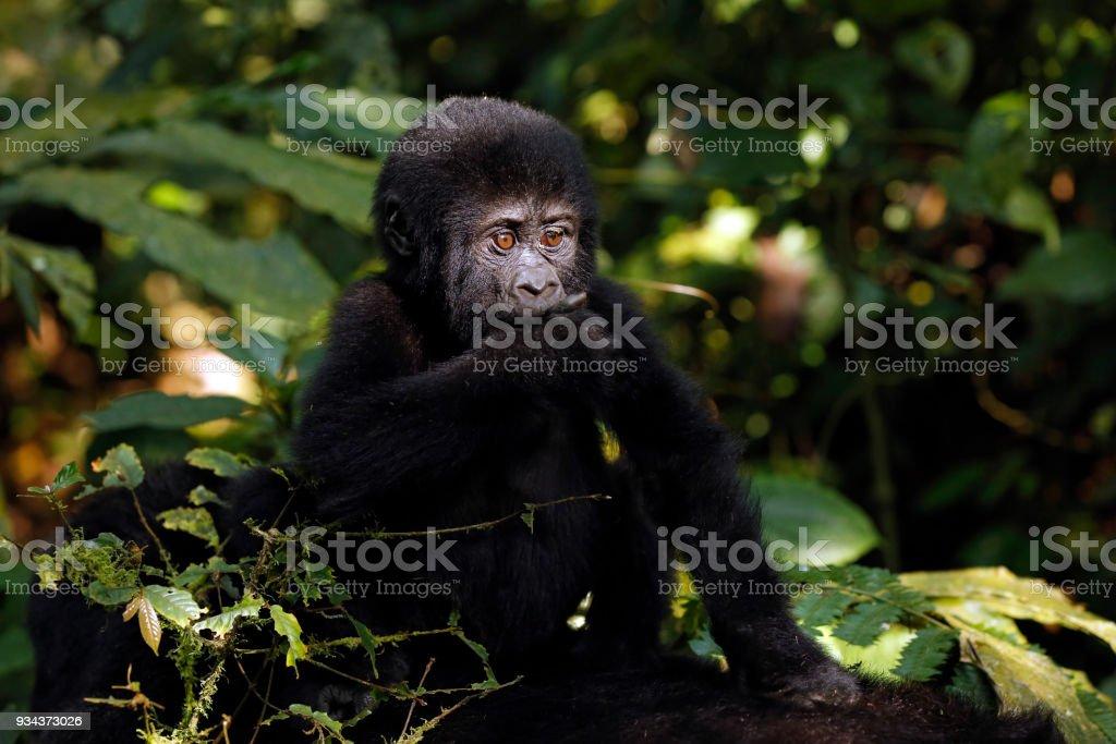 Gorilla Baby Baby Gorilla (Gorilla beringei beringei) Riding Mothers Back. Bwindi Impenetrable National Park, Uganda Animal Stock Photo