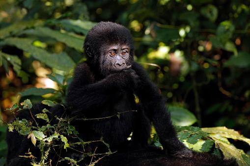 Gorilla Baby Stock Photo - Download Image Now