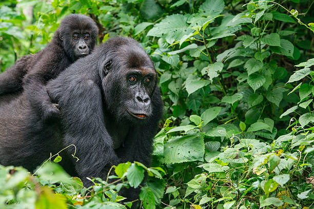 gorilla baby riding on back of mother, wildlife shot, congo - democratic republic of the congo stock photos and pictures