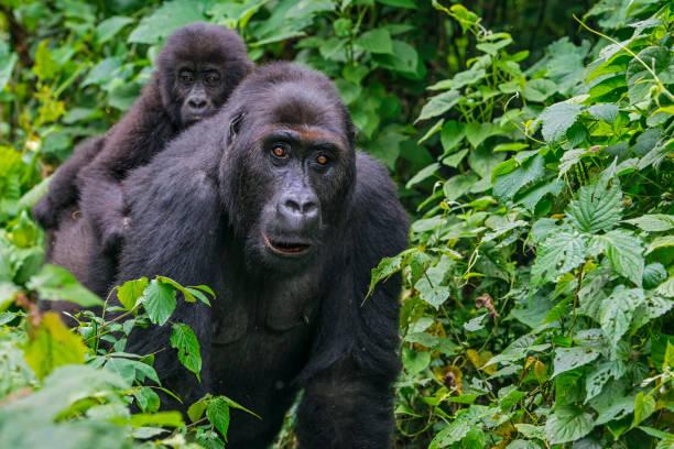 gorila bebé montar en la parte posterior de la madre, vida silvestre toma, congo - gorila fotografías e imágenes de stock
