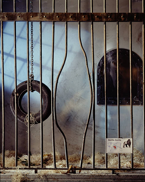 gorilla cage with bent bars - animals in captivity stock pictures, royalty-free photos & images