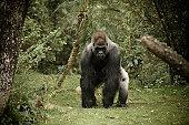 Gorilla Charging Camera