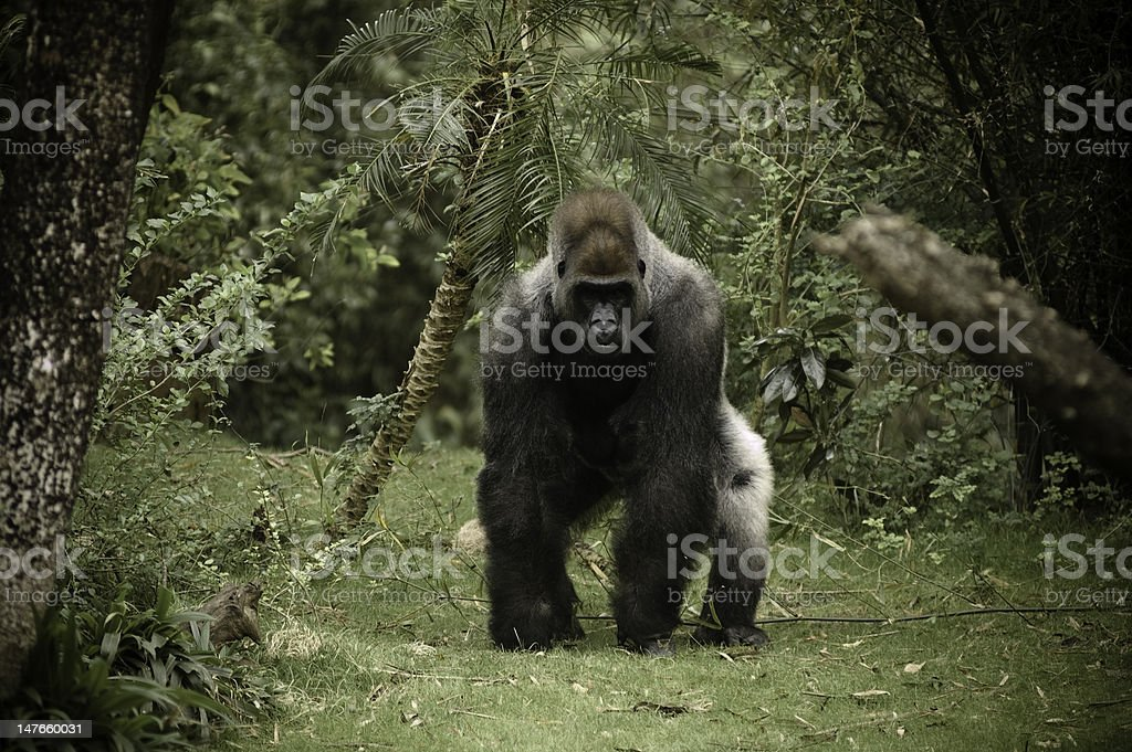 Gorilla Charging Camera stock photo