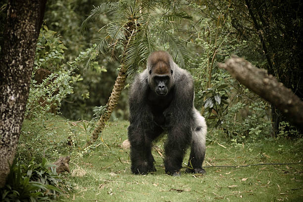 gorila cámara de carga - gorila fotografías e imágenes de stock