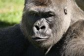Subject: Portrait of a gorilla
