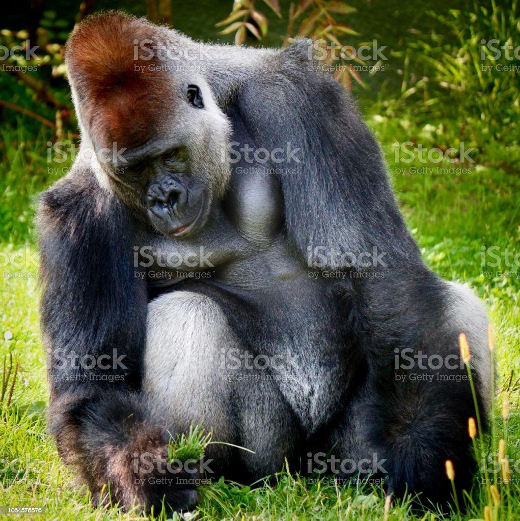 Gorilla cutting grass stock photo