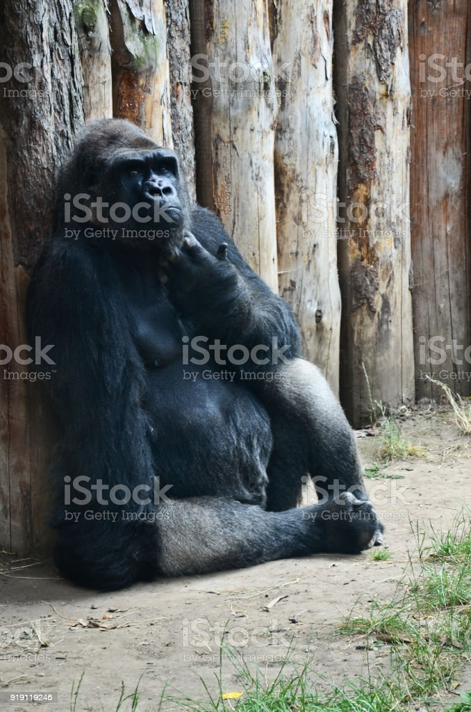 Gorilla deep in thought stock photo