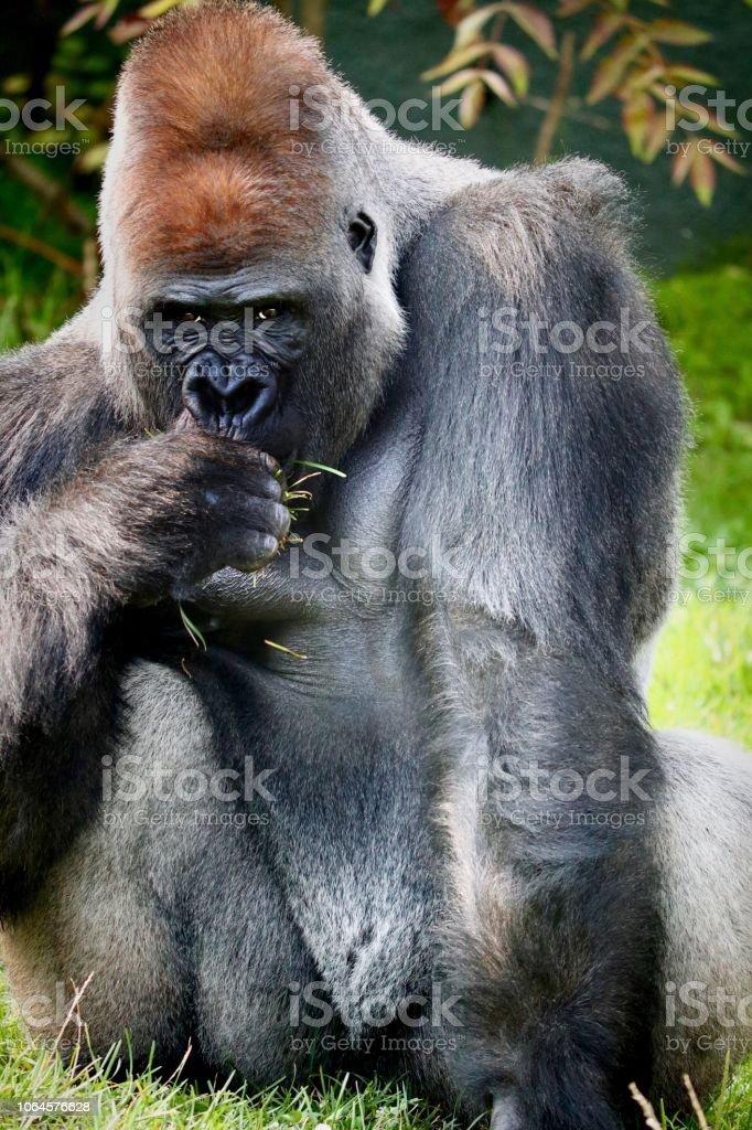 Gorilla eating stock photo