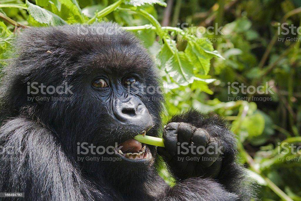 Gorilla Feeding stock photo