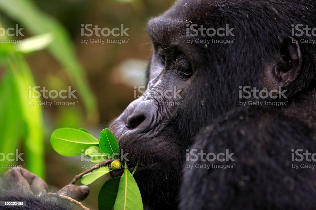 Gorilla utfodring bildbanksfoto