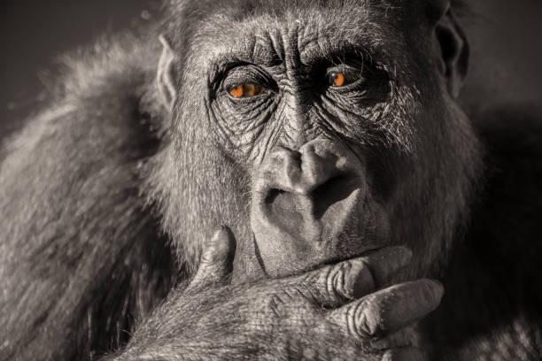 Gorilla female (Gorilla gorilla gorilla) close up portrait.