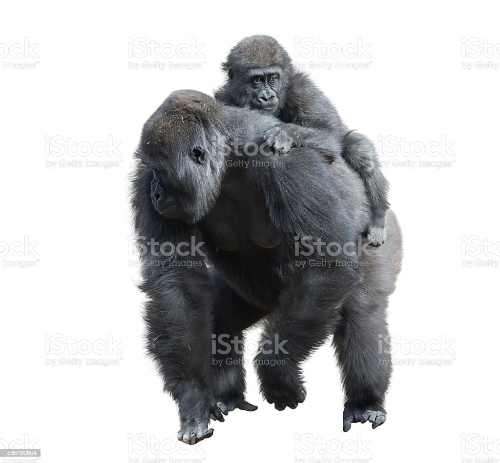 Gorilla Female with Her Baby stock photo