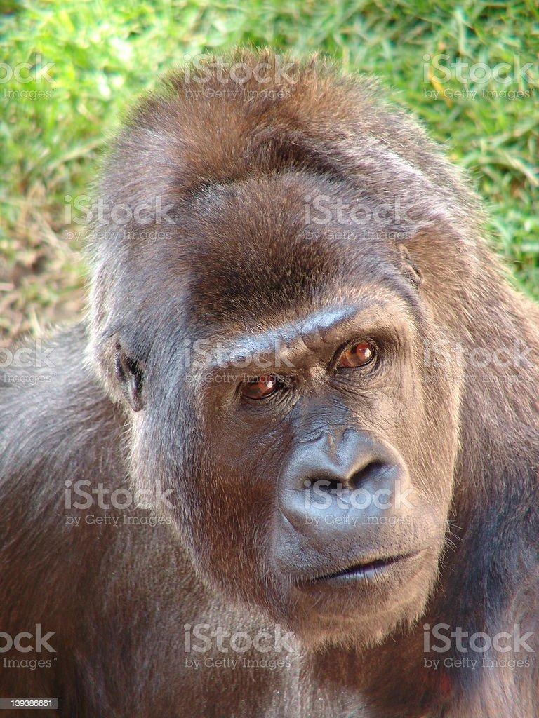 Gorilla  focused royalty-free stock photo