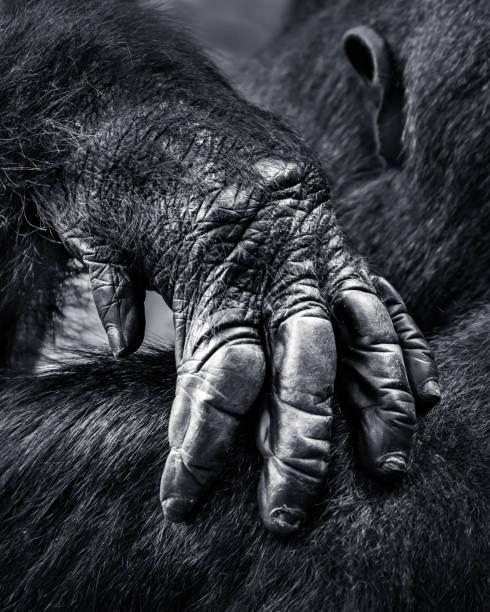Gorilla Hand stock photo