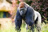 Gorilla in a zoo