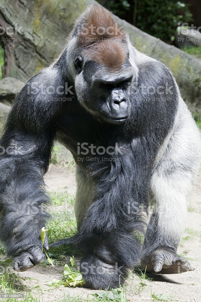 Gorilla in the jungle stock photo