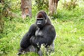 Gorilla in Warsaw ZOO