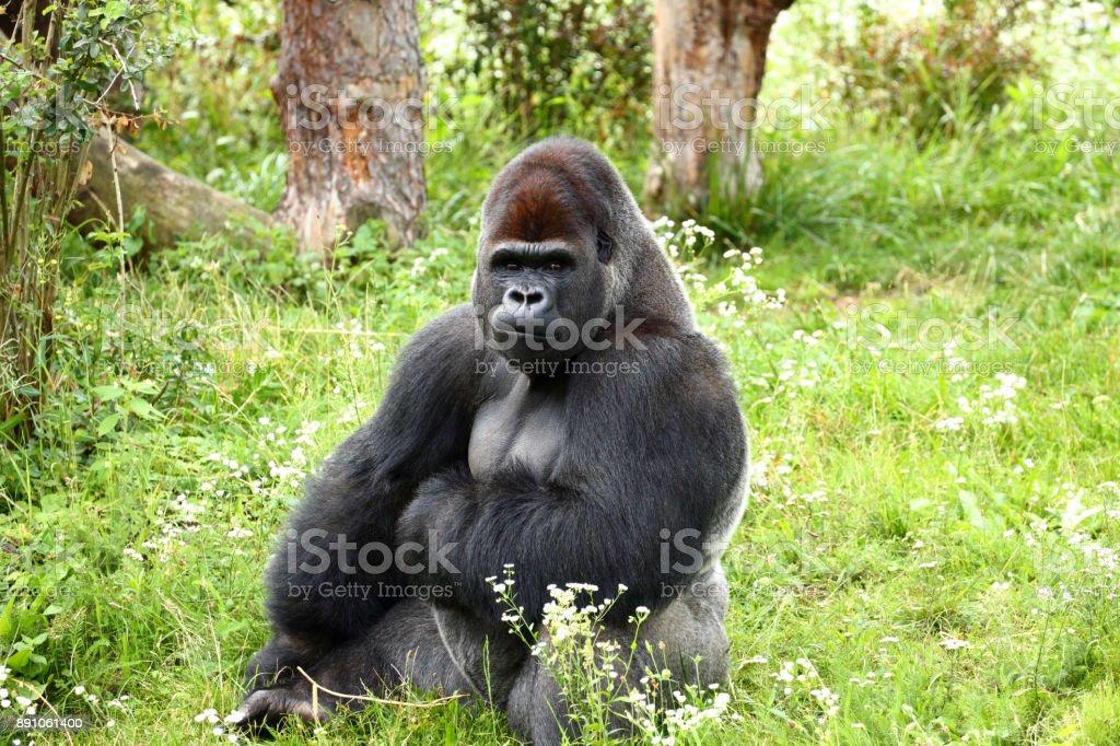 Gorilla im Warschauer ZOO – Foto