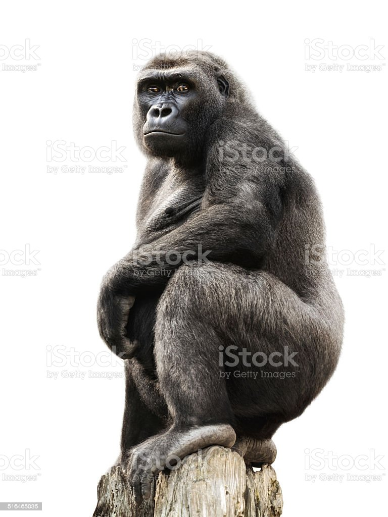 Gorilla on tree trunk, isolated stock photo
