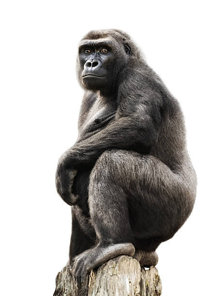 gorilla on tree trunk, isolated - gorilla stock photos and pictures