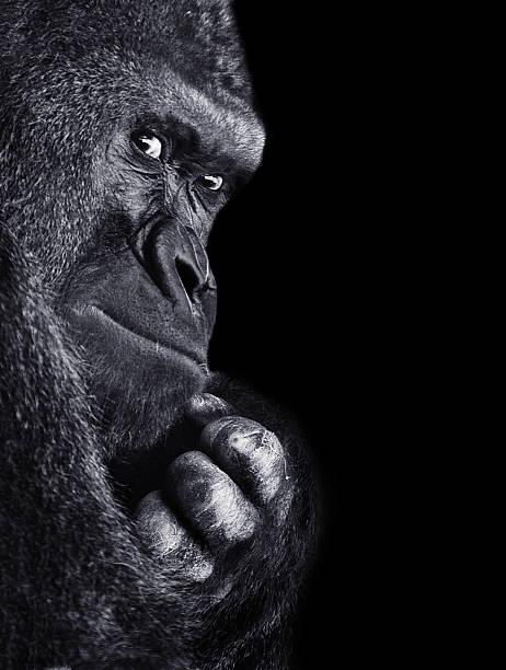 gorila - gorila fotografías e imágenes de stock
