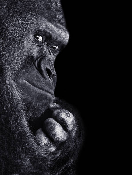 gorilla - gorilla stock photos and pictures