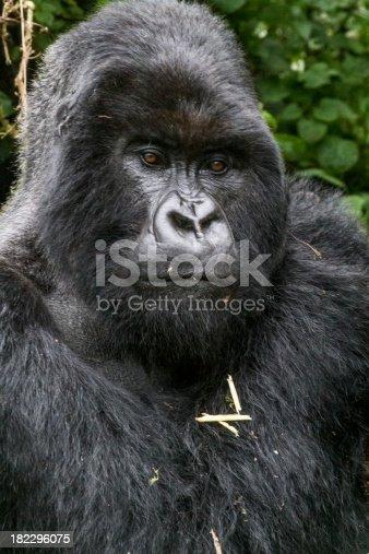 Gorilla Bisoke Vulcan, Rwanda