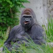 Gorilla, dominating male, grimace