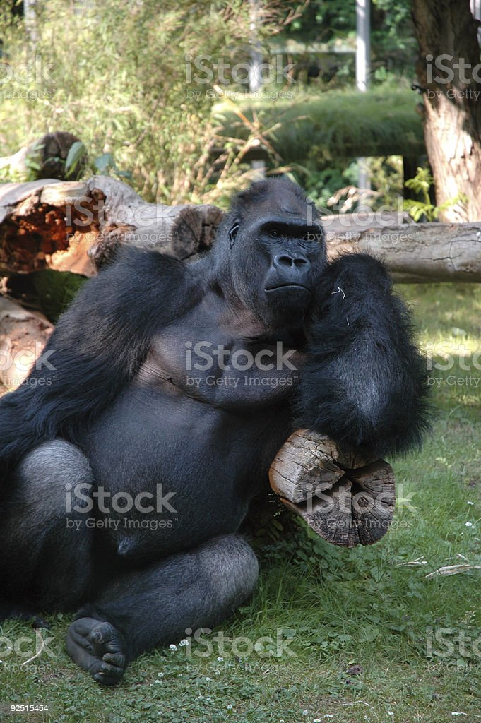 gorilla royalty-free stock photo
