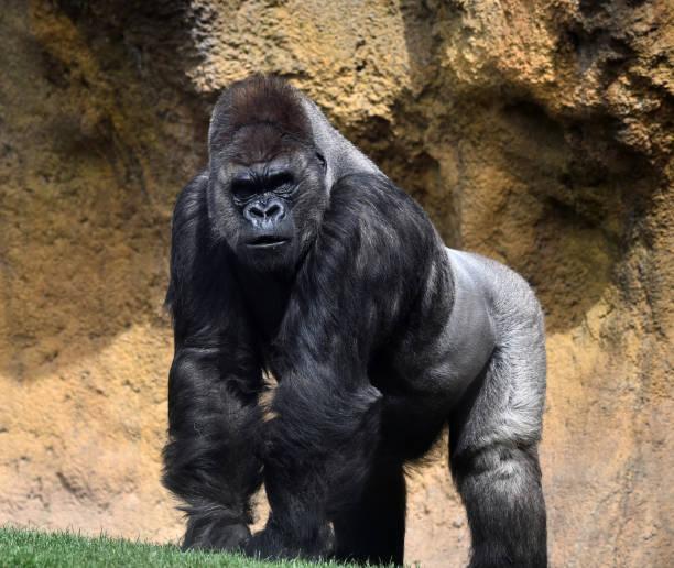Gorilla picture id942810848?b=1&k=6&m=942810848&s=612x612&w=0&h=t 437bugwlodl5xgx91bol0grn071szbndsctaqborg=
