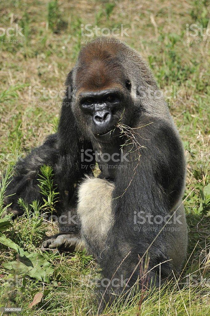 Gorilla royalty-free 스톡 사진