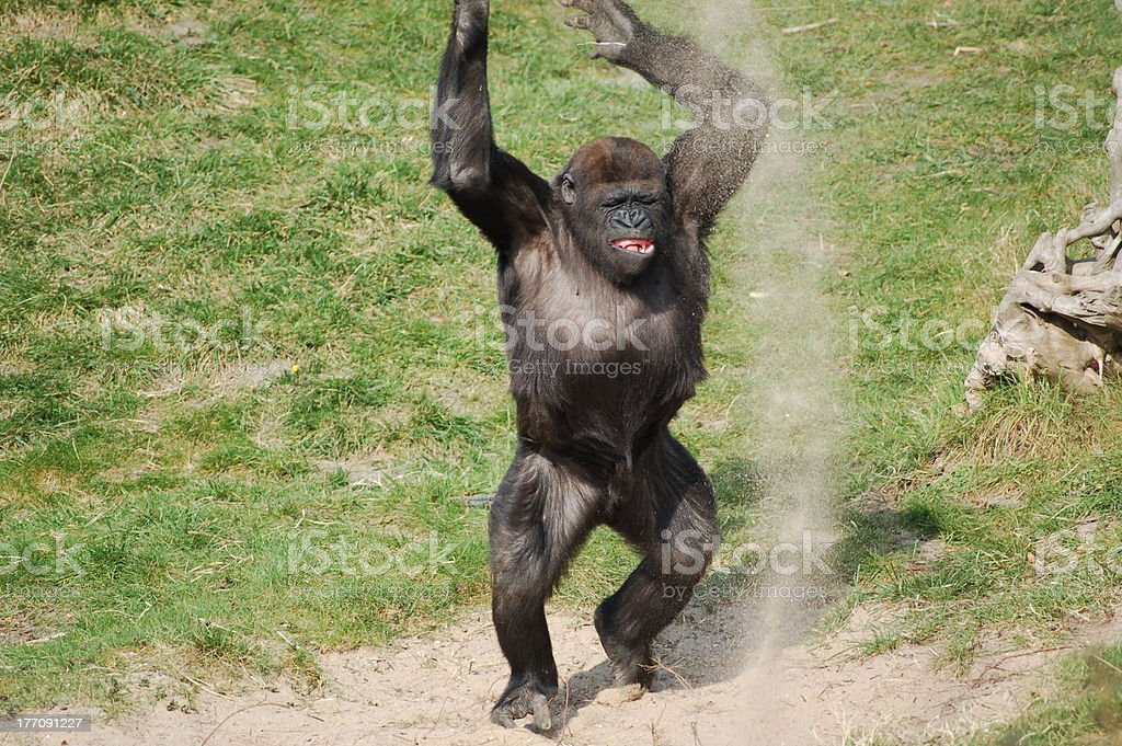 Gorilla playing stock photo