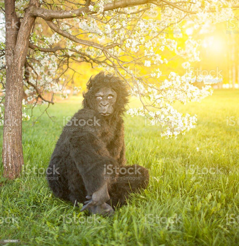 Gorilla portrait at sunset royalty-free stock photo