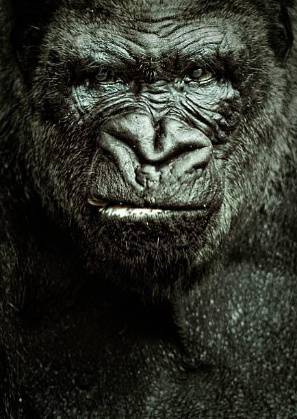 gorilla portrait - gorilla stock photos and pictures