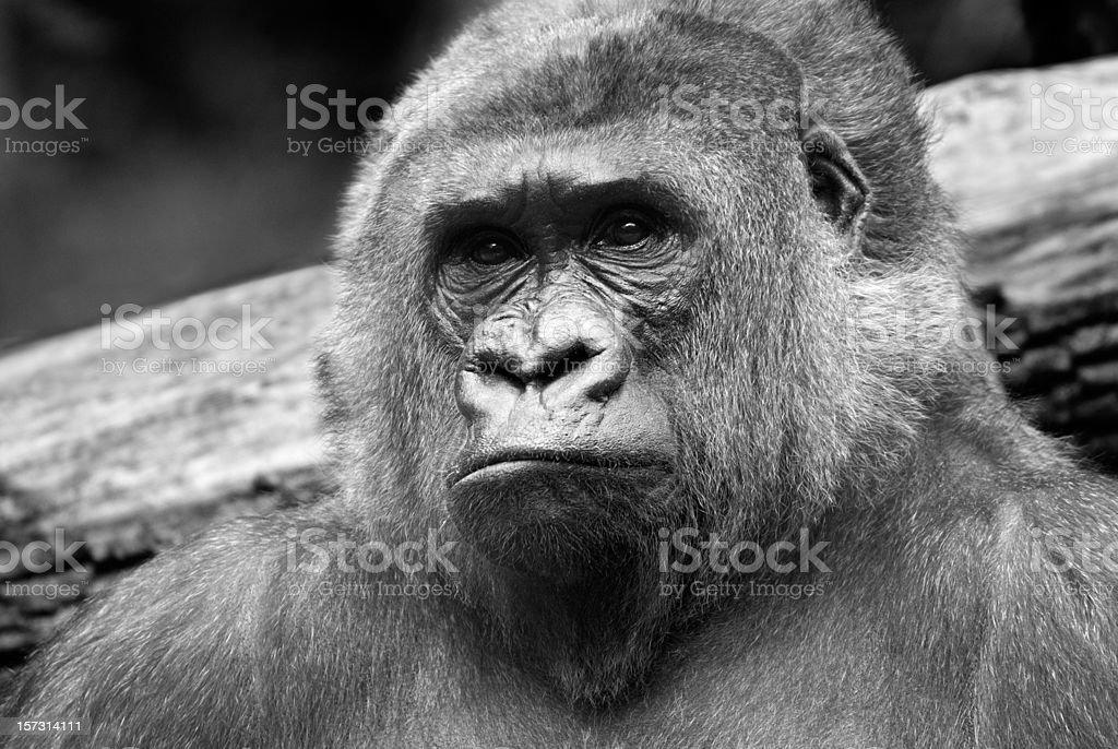 Gorilla Portrait royalty-free stock photo